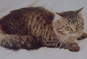 THE HISTORY OF THE POLYDACTYL MAINE COON CAT